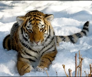 baby, tiger, and specanimal image