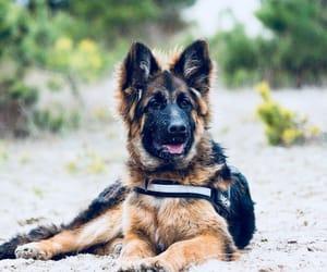 dog, german, and german shepherd image