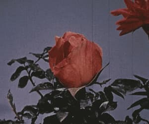 rose, gif, and vintage image