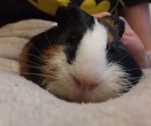 animal, big, and guinea pig image