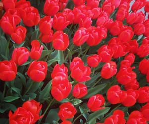 flowers and red tulips image