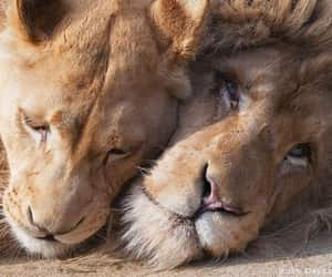 lions, love, and wild image