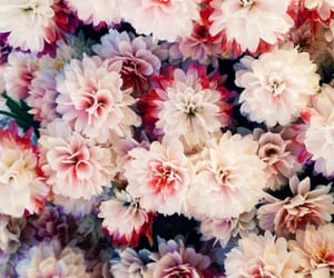beautiful, flowers, and dahlia image