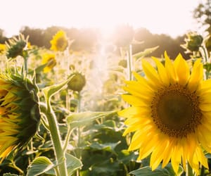 sunflower, flowers, and sun image