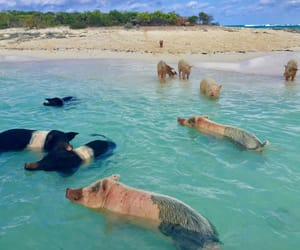 bahamas, pig, and pigs image