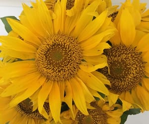 summer, sunflowers, and yellow image