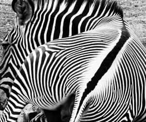 animals, zebra, and b&w image
