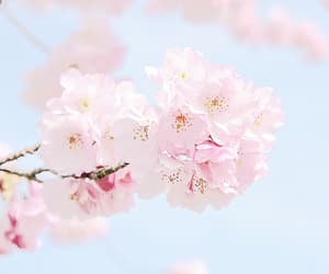 cherry blossom, flowers, and pastel image