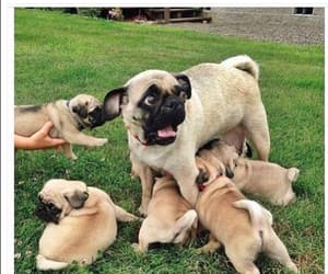 dog, funny, and pugs image