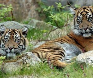 cub, tiger cub, and tigre image