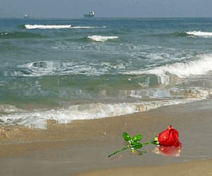 beach, nature, and red rose image