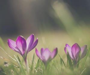 crocus, crocuses, and flowers image