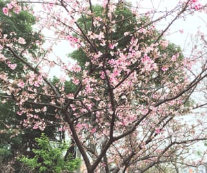 cherry, taiwan, and pink image
