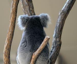 koalas and 🐨 image