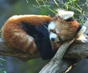 animal, cute, and Red panda image