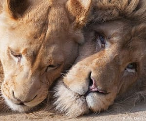 adorable, animals, and lion image
