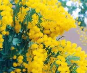 flower, macro, and mimosa image