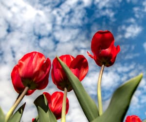 amazing, flowers, and red image