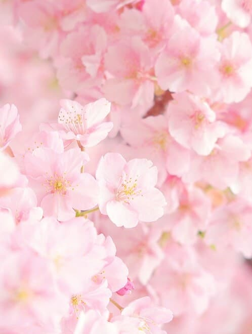 46 images about flor de cerezo 🌸 on We Heart It | See more