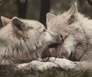 wolf and gray wolf image