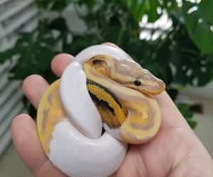 snake, ball python, and banana pied ball python image