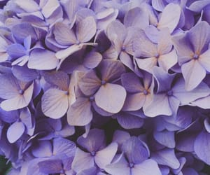 flowers, hydrangea, and nature image