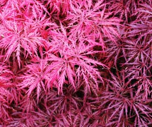 maple and pink image