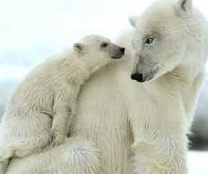 adorable, polar bears, and touching image