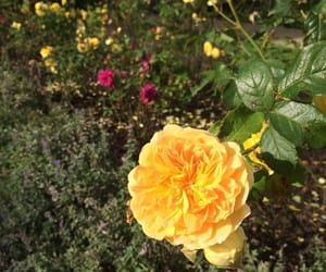 flowers, rose, and yellow image