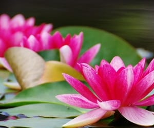 flowers, pretty, and water lilies image