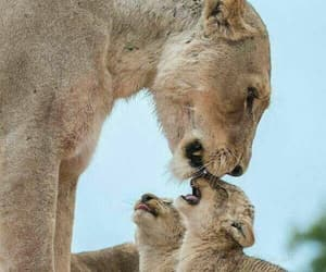 wild and lioness image