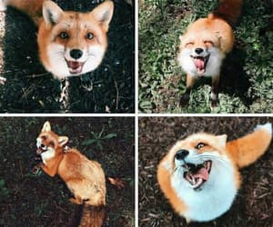 Animales and fox image