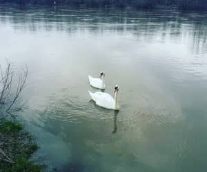 beauty, swans, and nature image