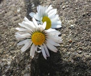 beauty, yellow, and daisy image