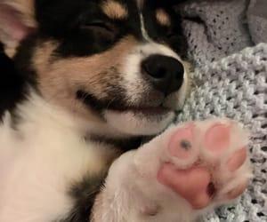 corgi, corgis, and doggie image