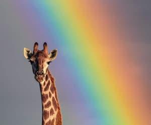 animal, giraffe, and photography image