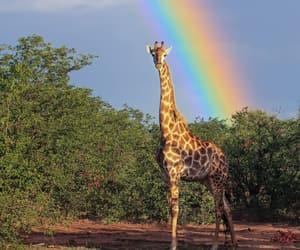 animal, giraffe, and rainbow image
