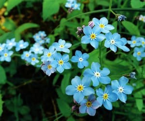 blue, forget-me-not, and photography image
