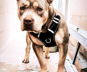 aesthetic, dog, and pitbull image