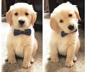 adorable, labrador retriever, and yellow lab image