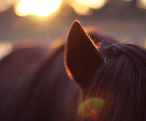 bokeh, ear, and horse image