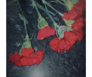 carnation, carnations, and polaroid image
