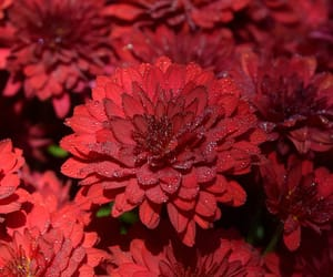 flowers, red, and mums image