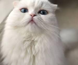 animal, cat, and white image