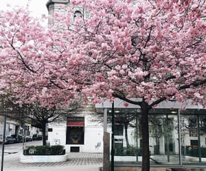 cherry blossom, flowers, and nature image