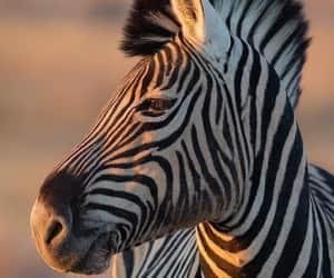 Mind Blowing, the boss, and zebra stallion image