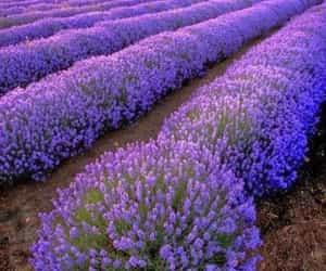 lavender fields image