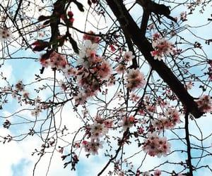 cherry blossom, pretty, and spring image