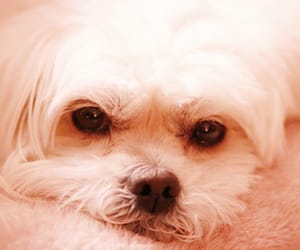 dog, lhasa apso, and love image
