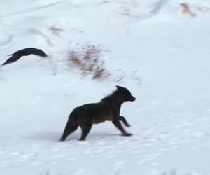 black, raven, and wolf image